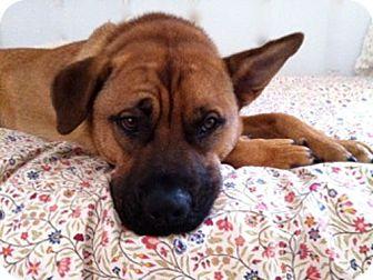 Boxer/Labrador Retriever Mix Dog for adoption in San Dimas, California - Charlie