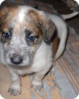 Shepherd (Unknown Type) Mix Puppy for adoption in Kalamazoo, Michigan - Sidney - Bev