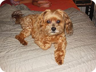 Yorkie, Yorkshire Terrier/Poodle (Toy or Tea Cup) Mix Dog for adoption in San Diego, California - Tag