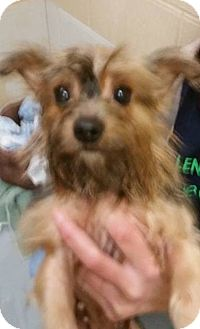 Yorkie, Yorkshire Terrier Mix Dog for adoption in Adrian, Michigan - Layla