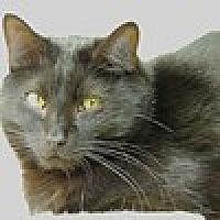 Adopt A Pet :: Sherlock - Pineville, NC