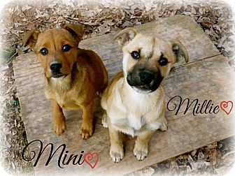 Shepherd (Unknown Type) Mix Puppy for adoption in Chester, Connecticut - Mini