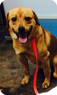 Pug/Golden Retriever Mix Dog for adoption in Chicago, Illinois - ZACH