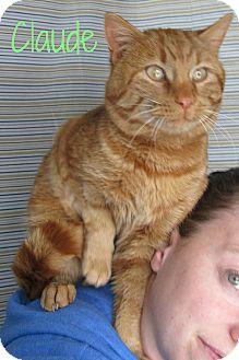 Domestic Shorthair Cat for adoption in Menomonie, Wisconsin - Claude