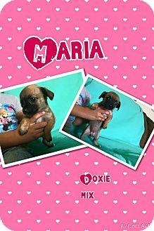 Dachshund/Chihuahua Mix Puppy for adoption in Rancho Cucamonga, California - Maria