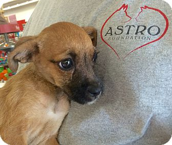 Terrier (Unknown Type, Small)/Chihuahua Mix Puppy for adoption in Oakdale, California - Delilah