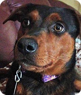 Labrador Retriever/Hound (Unknown Type) Mix Dog for adoption in Point Pleasant, Pennsylvania - CAMBY - ADOPTION PENDING