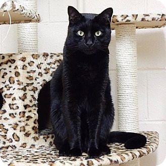 Domestic Shorthair Cat for adoption in Long Beach, New York - Blackjack