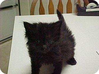 Domestic Mediumhair Kitten for adoption in Fayetteville, Georgia - Luke Duke