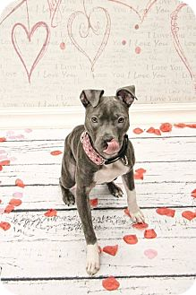 American Pit Bull Terrier Mix Dog for adoption in West Allis, Wisconsin - Coco