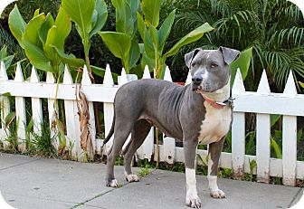 Pit Bull Terrier Mix Dog for adoption in Los Angeles, California - Mystique