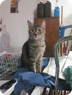 Domestic Shorthair Cat for adoption in Trevose, Pennsylvania - Gail