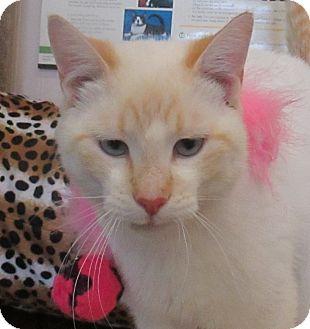 Siamese Cat for adoption in Lloydminster, Alberta - Golf Cart