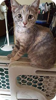 Domestic Shorthair Kitten for adoption in Breinigsville, Pennsylvania - Sickle