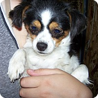 Adopt A Pet :: Nutmeg - Kirkland, WA