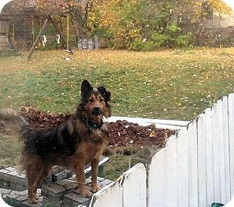 Sheltie, Shetland Sheepdog Mix Dog for adoption in Cedar Rapids, Iowa - Norah