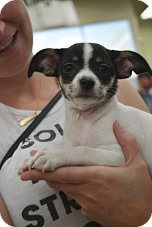 Chihuahua/Terrier (Unknown Type, Small) Mix Puppy for adoption in Ogden, Utah - Bandit