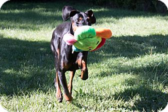 Doberman Pinscher Dog for adoption in Greensboro, North Carolina - SIMONE