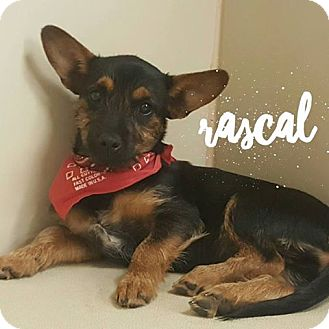 Chihuahua Mix Puppy for adoption in Snyder, Texas - Rascal