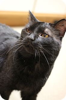 Domestic Shorthair Cat for adoption in Carlisle, Pennsylvania - Ravi