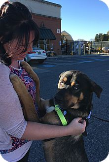 Rottweiler/Husky Mix Dog for adoption in Baltimore, Maryland - Oscar