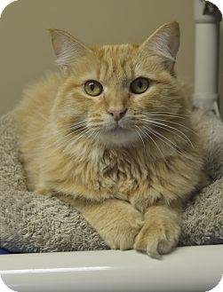 Domestic Mediumhair Cat for adoption in Germantown, Tennessee - Persephone