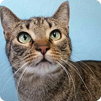 Domestic Shorthair Cat for adoption in Ocala, Florida - Lily