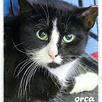 Adopt A Pet :: Orca - Pompton Plains, NJ
