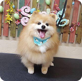 Pomeranian Dog for adoption in Norman, Oklahoma - Sparky