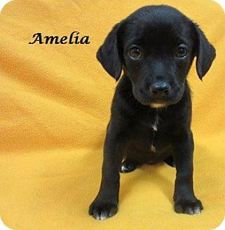 Labrador Retriever/Basset Hound Mix Puppy for adoption in Bartonsville, Pennsylvania - Amelia