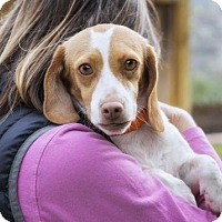 Beagle Dog for adoption in El Cajon, California - Carrie
