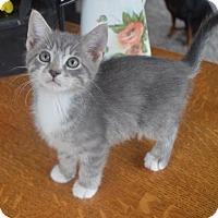 Adopt A Pet :: Drew - Rochester Hills, MI