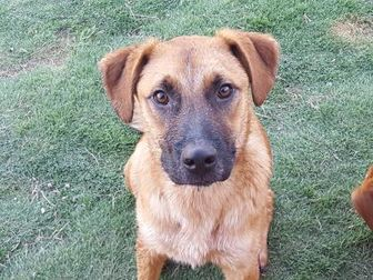 Shepherd (Unknown Type)/Hound (Unknown Type) Mix Dog for adoption in Las Cruces, New Mexico - Harvey