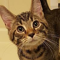 Domestic Shorthair Kitten for adoption in Grayslake, Illinois - Stravinsky