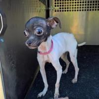 Adopt A Pet :: Sophie - justin, TX