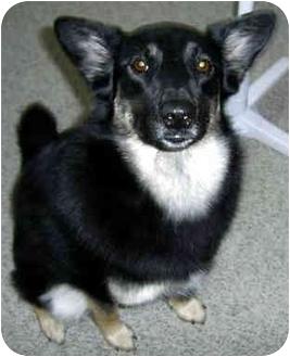German Shepherd Dog/Border Collie Mix Dog for adoption in Troy, Michigan - Harley