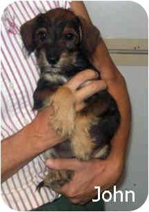 Schnauzer (Miniature) Mix Puppy for adoption in Tahlequah, Oklahoma - John