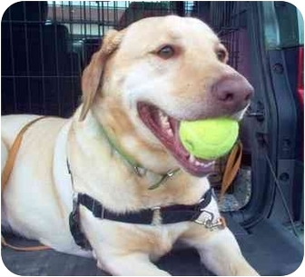 Labrador Retriever Dog for adoption in Brooklyn, New York - Norma Jean