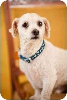 Bichon Frise/Poodle (Miniature) Mix Dog for adoption in Portland, Oregon - Arthur