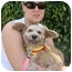 Photo 3 - Wheaten Terrier Mix Dog for adoption in Coral Springs, Florida - CoCo