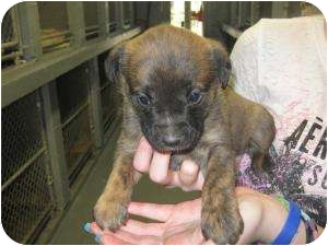 Boxer/Shepherd (Unknown Type) Mix Puppy for adoption in Henderson, North Carolina - April