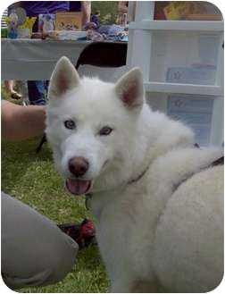 Husky Dog for adoption in Spring City, Tennessee - Pacha