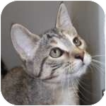 Domestic Shorthair Kitten for adoption in Wheaton, Illinois - Bippity