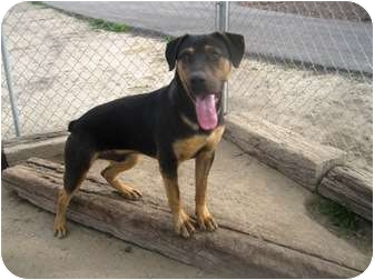 Rottweiler/Shar Pei Mix Dog for adoption in Tracy, California - Rocko