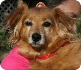 Dachshund Mix Dog for adoption in Hagerstown, Maryland - Peaches