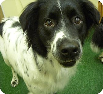 Border Collie/English Springer Spaniel Mix Dog for adoption in Youngwood, Pennsylvania - Spotty