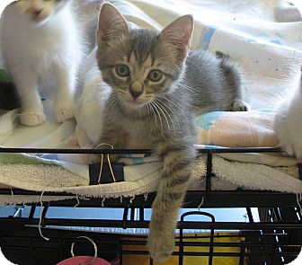 Domestic Shorthair Kitten for adoption in League City, Texas - CLARENCE - Adopted!!