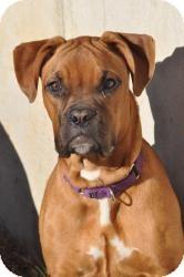 Boxer Dog for adoption in Springfield, Missouri - Ora
