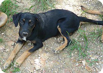 Hound (Unknown Type)/German Shepherd Dog Mix Puppy for adoption in Brattleboro, Vermont - ZELDA