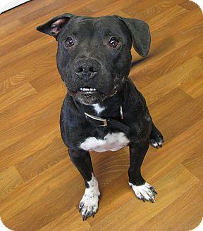 Staffordshire Bull Terrier/Dachshund Mix Dog for adoption in Lisbon, Ohio - Skipper SPONSORED!